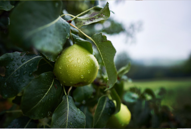 Dehydration of pears
